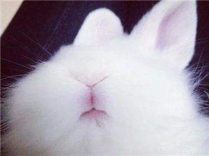 忍痛转让一只血统纯正超极萌的长毛垂耳兔(详情有图)