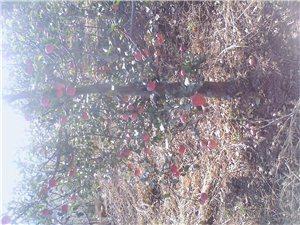 承德市澳门大小点网站县杨树镇铅南沟村{西梅}采摘园果子成熟了!