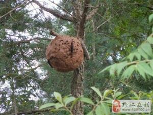 出售野生马蜂蛹