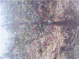 承德市澳门大小点网站县杨树镇铅南沟村{西梅}采摘园果子成熟了!欢迎光临!