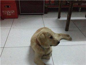 金毛狗出售