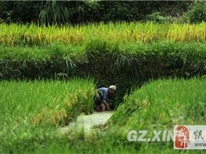 贵州侗寨稻熟鱼香