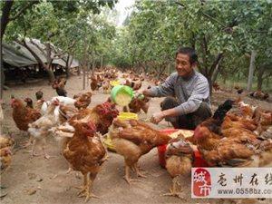 谯城区牛集镇圈椅村:林下养土鸡望赚大钱