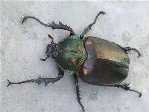 在衡水你碰见过这样的虫子吗?价值几十万~~~
