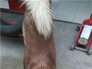本人喂有一条阿拉斯加,公狗,对外配种