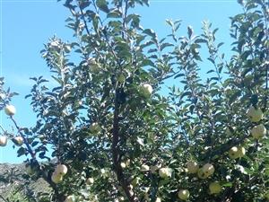 道虎沟双峰村苹果采摘季 欢迎各位 电话13932495945