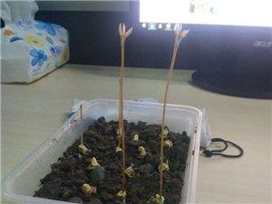 小盆栽成长记【四】