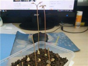 小盆栽成长记【五】