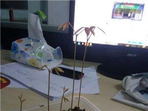 小盆栽成长记【六】