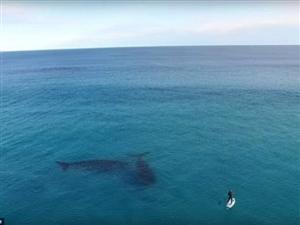 """一对巨鲸与冲浪者""""亲密接触"""""""