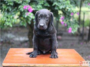 双血统种拉布拉多犬,温顺犬种我们的爱,喜欢的联系点赞跟帖哈。