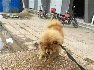 一只松狮犬于昨天10-12点之间在康宁苑D区附近丢失