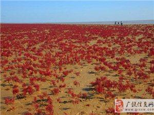 大片碱蓬草裹上红妆;现浪漫奇幻红地毯