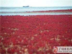 大片碱蓬草裹上红妆 现浪漫奇幻红地毯