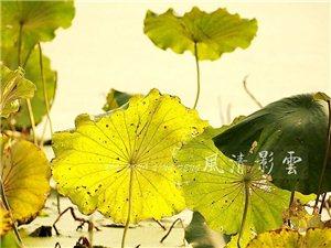 深秋荷塘――残叶的心声