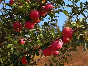 苹果红了――吃吧,摘吧,你就来吧!