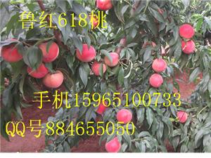 金乡鲁红618桃苗映霜红桃苗沂蒙霜红桃苗永莲蜜桃苗有发展新品种桃苗的
