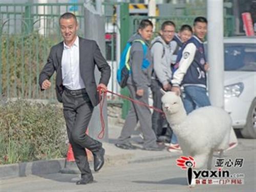 """乌鲁木齐市民街上""""遛羊驼"""";新宠""""萌萌哒"""""""