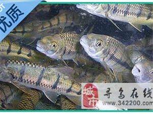 美味石边鱼 是否能勾起童年美好的回忆