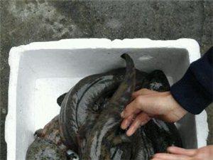 �西省�h中市中�A娃娃�~(大�F)�B殖�雠��l供��娃娃�~85元一斤