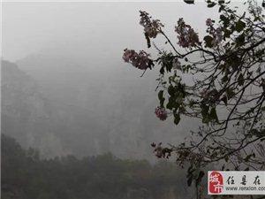 """邢台仙界山惊现两株""""逆天""""梧桐,深秋里梧桐花开正艳……"""