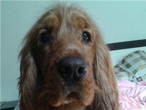 《寻狗》:威尼斯人线上平台四中附近丢失一只可卡狗,找到必有酬谢