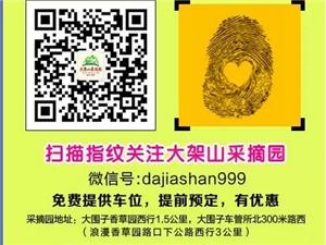 """大架山采摘园传来新消息:可以采摘""""长寿果""""""""鸡心果""""""""小红果""""啦!"""