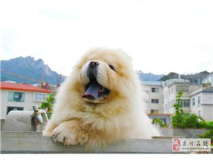 �璐ó�地出售精品奶油小松�{,圈�让�犬大力神�鹤樱。。�