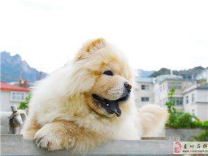 栾川当地出售精品奶油小松狮,圈内名犬大力神儿子!!!