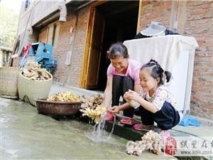 剑河:生姜丰产不丰收