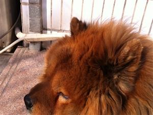 寻找丢失的松狮犬团团
