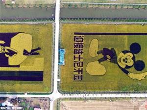 """上海一农场为迎接迪士尼开园 """"绘""""出彩色水稻"""