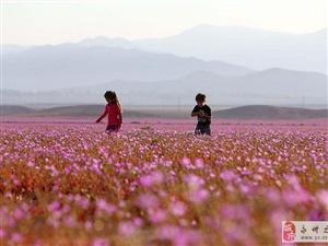 世界最干燥沙漠大雨过后花开遍地