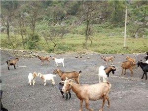 出售老家原生态山羊,自产自销寻商家购买