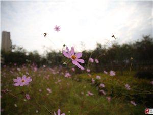 唯美.【波斯菊】.花海的世界
