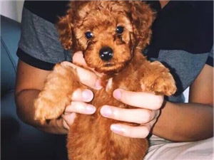 找爱狗人士收养小泰迪