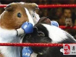 """有一种""""猪""""叫荷兰猪,蠢萌蠢萌哒!"""