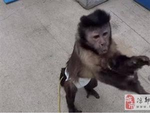 �@只小猴子拿了�X竟然去做了�@件事,好神奇!