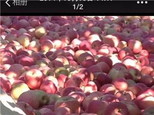 香营乡山底下村红富士苹果出售