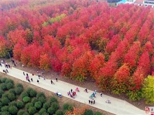美哭了!上海现超美枫树林