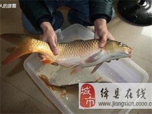 黄河野生鲤鱼进驻绛县
