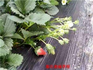 浙江奶油草莓在武威上市啦,亲们,不要错过哦~~