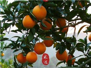 """【赣南脐橙】""""金色灿灿""""又到脐橙丰收时"""