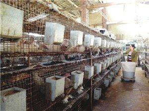 泸州农民工返乡养鸡