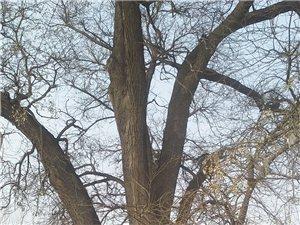 记忆中的老槐树