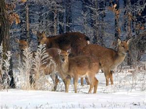 澳门太阳城网站国富林场的鹿