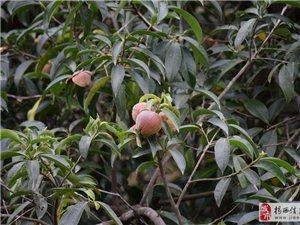 这是什么野果?能吃的吗?