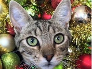 圣诞节萌猫也来凑热闹!