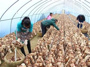 大球盖菇在滁州首次试种成功――一亩菇消耗十亩秸秆,实现秸秆变废为宝