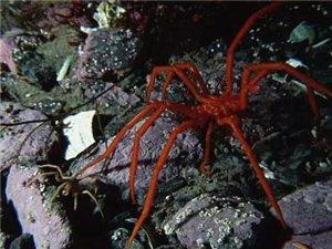 南极现巨型蜘蛛 科学家也无法准确解释原因